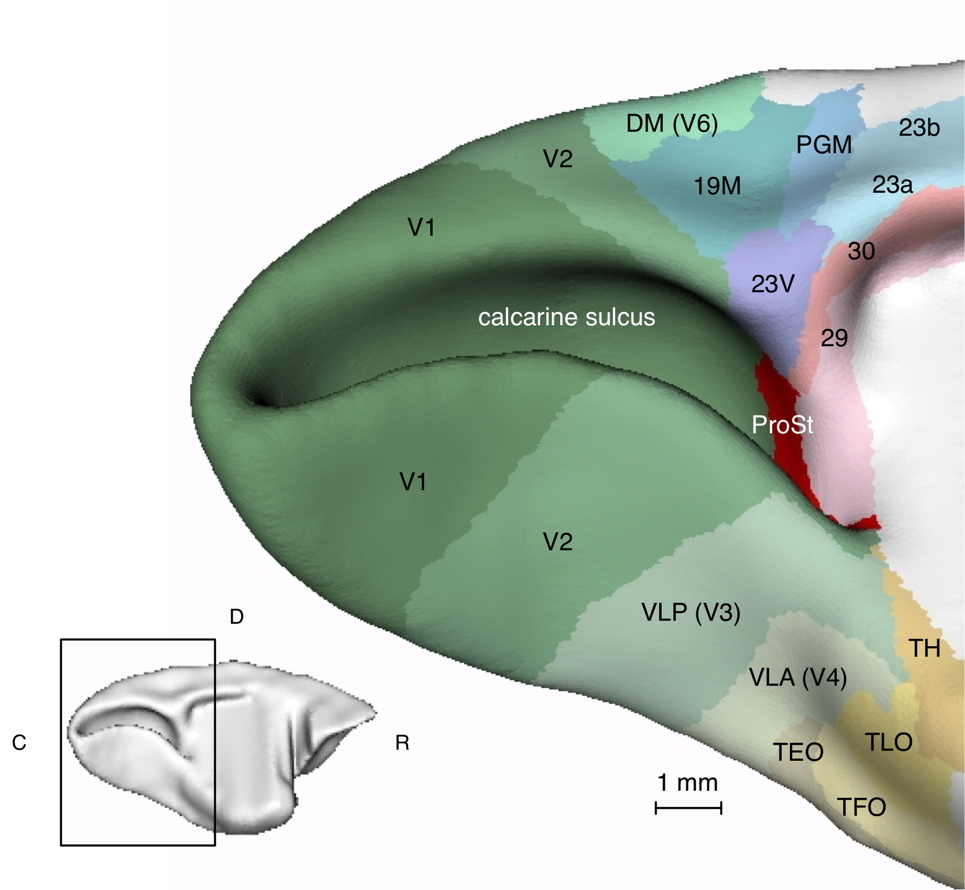 An illustrations of the anatomical subdivisions of the medial surface of the primate brain. 3D models of the cortical areas were traced from histological images and rendered in ParaView (In Yu et al., 2012, Current Biology 22: 1351-1357)
